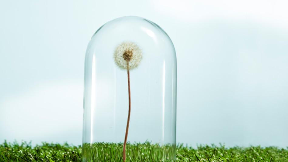 Sensitive dandelion