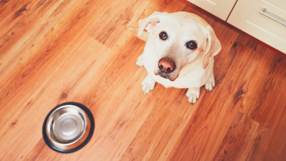 Labrador waiting patiently for food