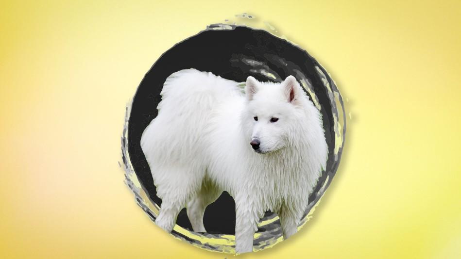 White dog on yellow background