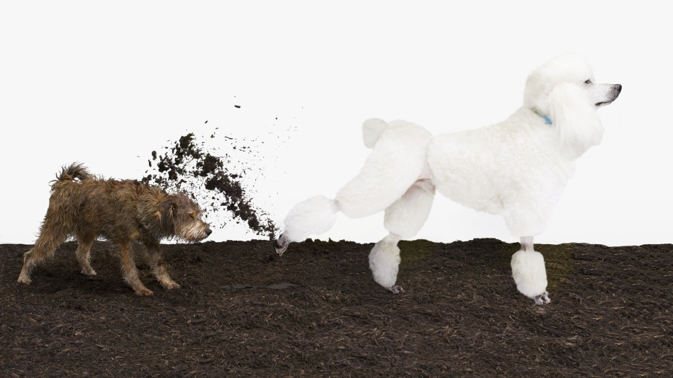 Poodle kicking dirt into a smaller dog's face