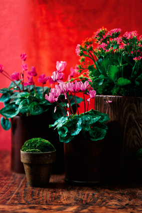Cyclamen, kalanchoe, and moss