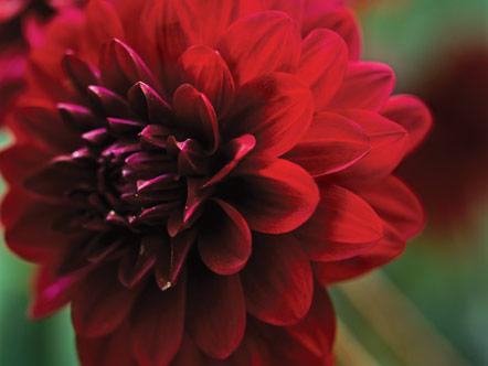 Scarlet dahlia