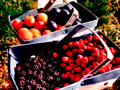 Plums, blackberries, and raspberries