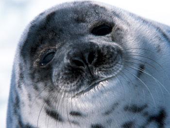 Save a seal at AnimalGift.org