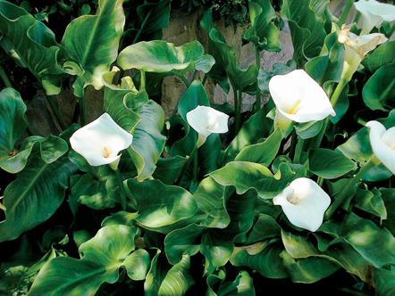 Calla lilies in Oprah's backyard