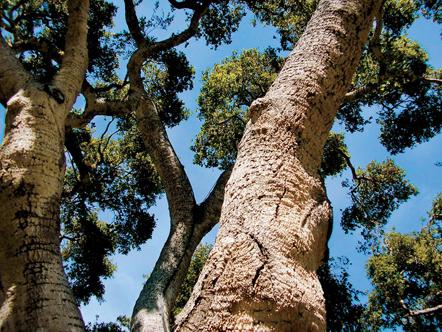 A tree in Oprah's backyard