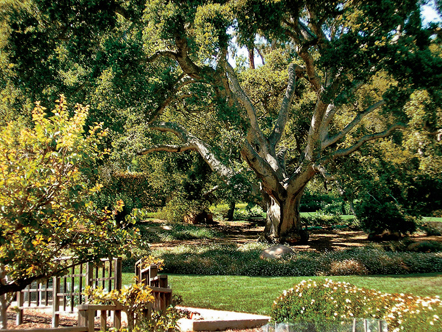 Oprah's backyard oak tree