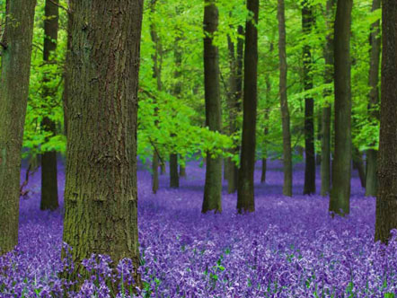 Hyacinthoides non-scripta, The Life and Love of Trees, Oxford Scientific