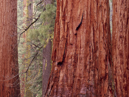 Sequoidendrom gigantum, The Life and Love of Trees, Art Wolfe