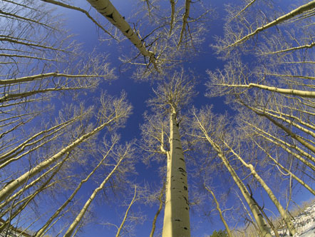 Populus tremuloides, The Life and Love of Trees, Art Wolfe