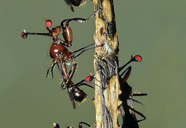 stalk-eyed flies