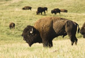 Be the buffalo