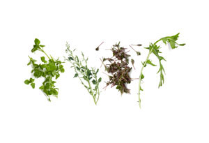 chickweed, lamb's quarters (a.k.a. wild spinach), purslane, dandelion greens