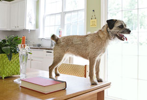 Border terrier standing on kitchen table