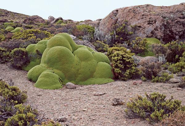Llareta Plant