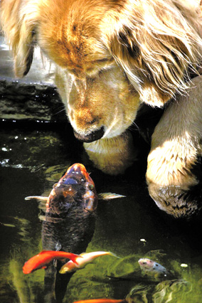 Golden Retriever and Koi
