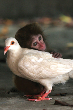 Monkey hugging a dove
