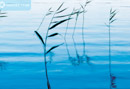 Reeds on water