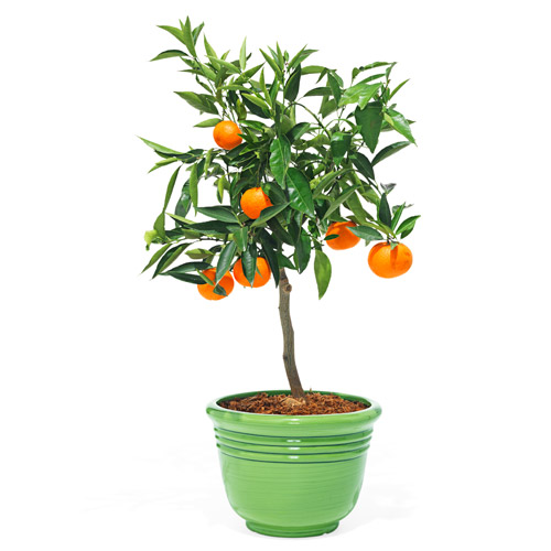 Dwarf Clementine mandarin orange tree