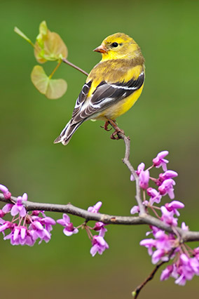 Golden doldfinch