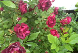 The roses in Simran Sethi's garden
