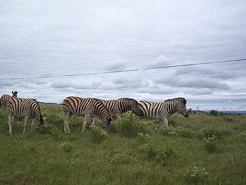 Shamwari Zebra