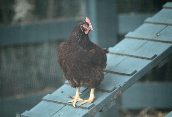 Chicken on henhouse