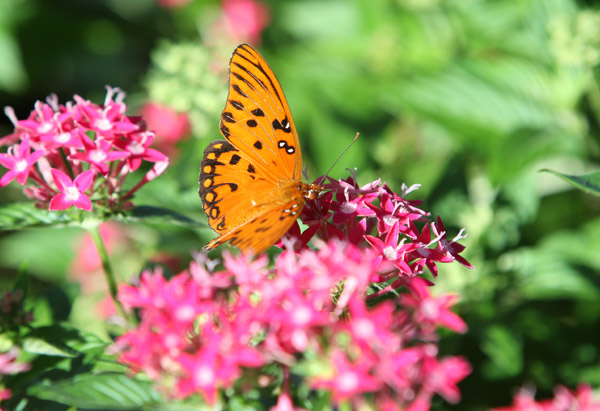 Orange butterfly perched on a pink flower