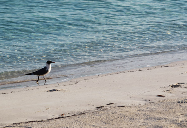 Seagull on the beach of Musha Cay, David Copperfield's private island
