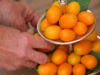 A kumquat display