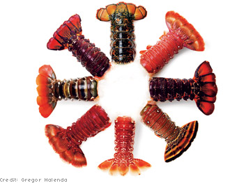 Lobster Gram continental collection sampler