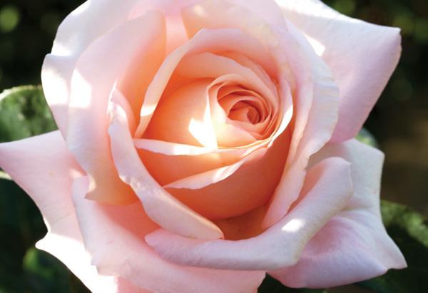 Pink Sunset Celebration rose