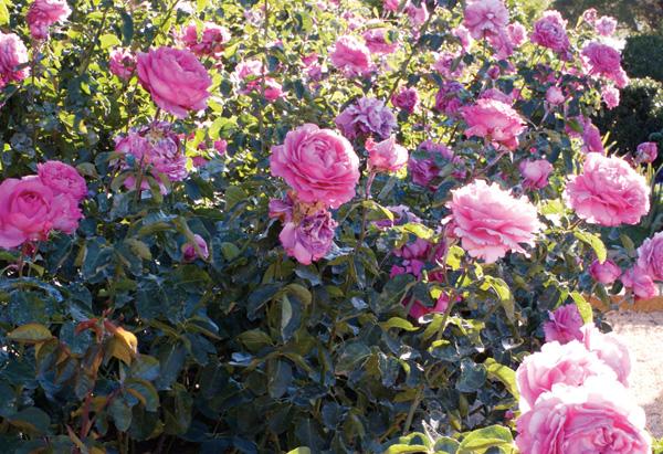 Pink Yves Piaget rose