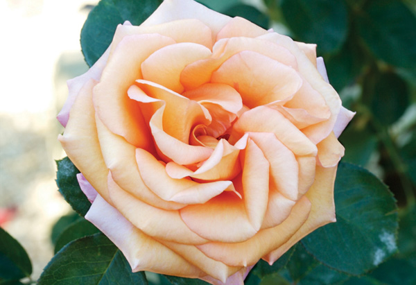 The Marilyn Monroe rose