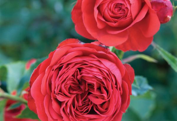 Red Francois Rabelais rose