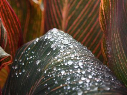 Drops of water on canna leaf