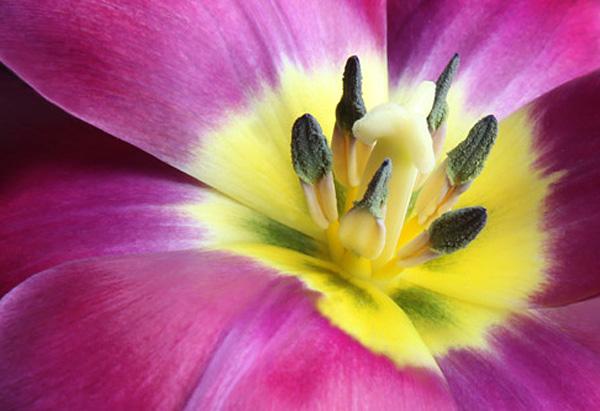 Fuchsia Tulip