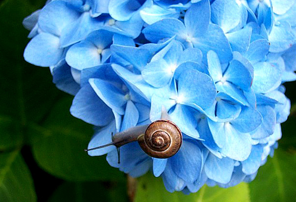Snail on hydrangea flower