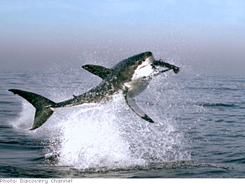 A great white shark swallows a seal.
