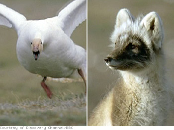 A snow goose and an Arctic fox