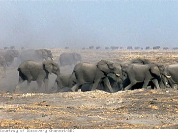 Thousands of animals trek across Africa's Kalahari Desert.