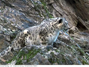 A snow leopard hunts a mountain goat.