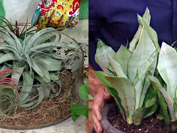 The tillandsia and sansevieria plants