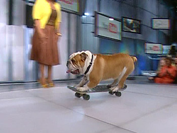 Tyson the skateboarding bulldog