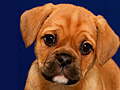 Investigating puppy mills