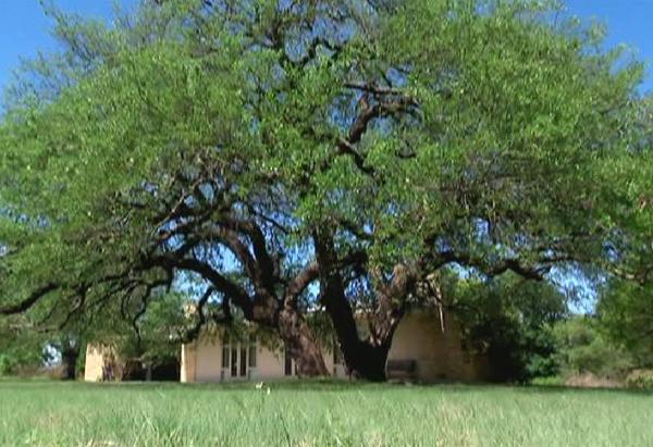 Laura Bush's oak tree