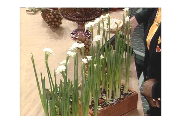 Narcissus plant bulbs