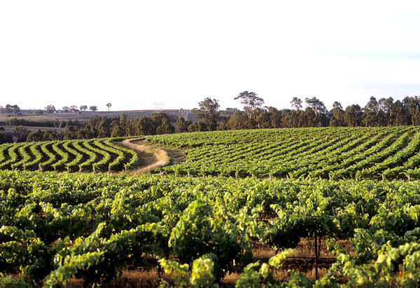 Vineyards of Hunter Valley