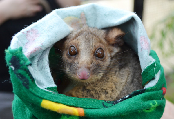 A Brushtail Possum at Sydney's Taronga Zoo