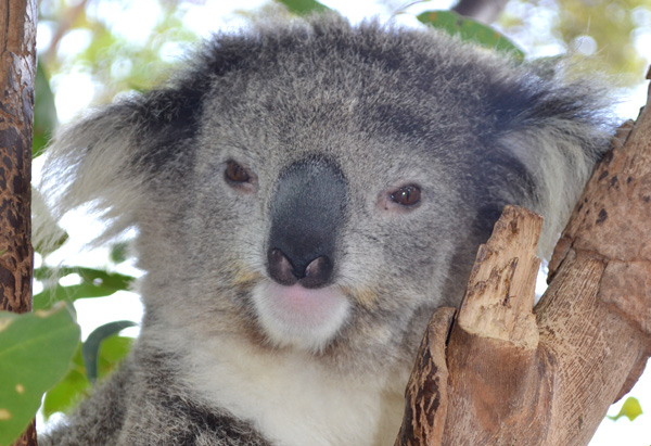 A koala at Sydney's Taronga Zoo